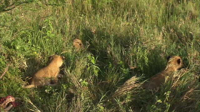 vídeos y material grabado en eventos de stock de a lion cub in the bush, serengeti national park, tanzania - grupo pequeño de animales
