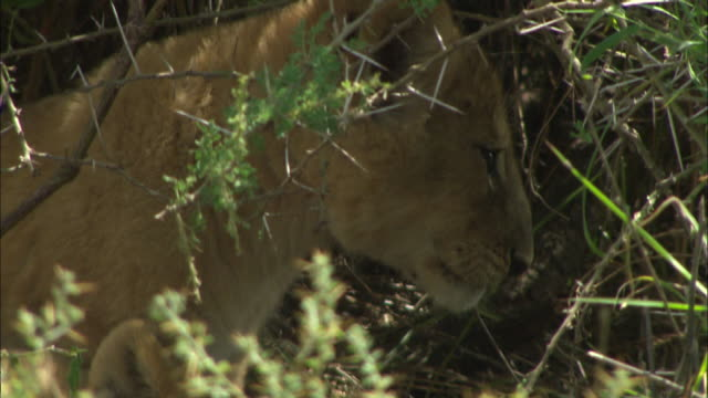 a lion cub in the bushes at serengeti national park, tanzania - carnivora stock videos and b-roll footage