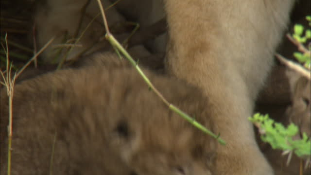 a lion cub leaning on the leg in the bushes at serengeti national park, tanzania - carnivora stock videos and b-roll footage