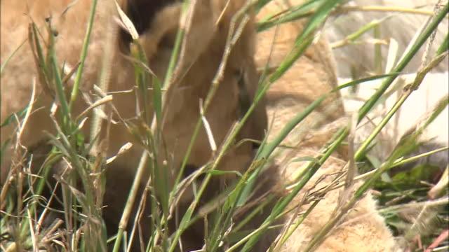 vidéos et rushes de a lion cub lies down next to a lioness in the bush, serengeti national park, tanzania - petit groupe d'animaux