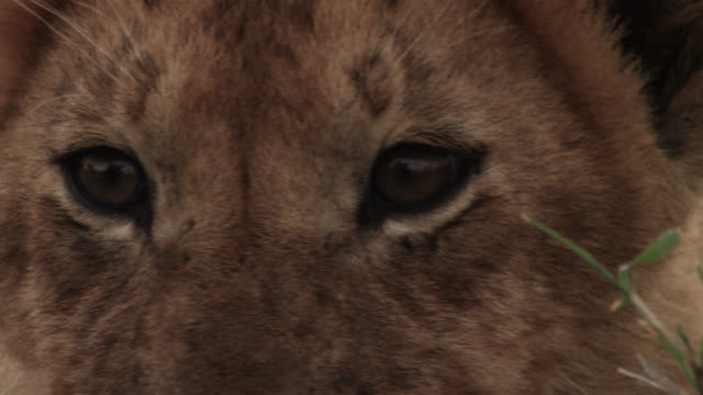 lion cub (panthera leo) looks around on savannah, kenya - animal eye stock videos & royalty-free footage