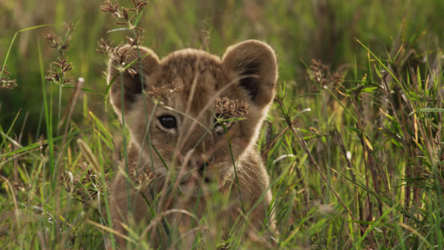 lion (panthera leo) cub looks around on savannah, kenya - lion cub stock videos & royalty-free footage