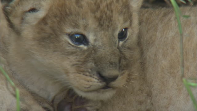 vídeos de stock, filmes e b-roll de a lion cub lying down in the bush of serengeti national park, tanzania - bigode de animal