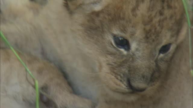 vídeos y material grabado en eventos de stock de a lion cub lying down in the bush of serengeti national park, tanzania - vibrisas