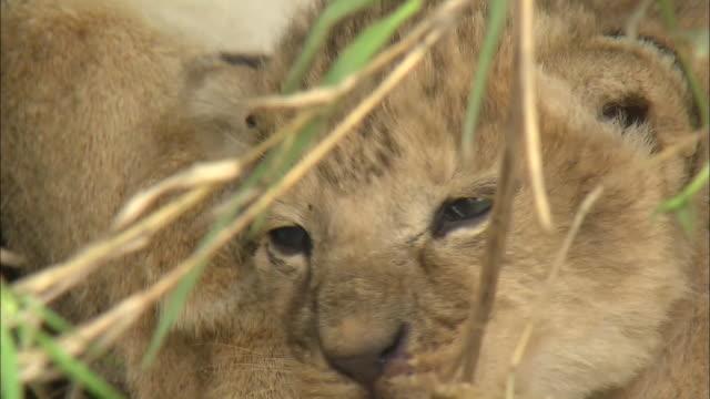 a lion cub lying down in the bush of serengeti national park, tanzania - tierische nase stock-videos und b-roll-filmmaterial