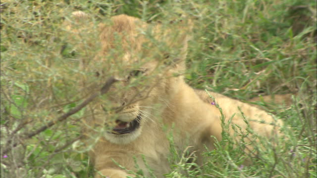 a lion cub lying down on the grass at serengeti national park, tanzania - carnivora stock videos and b-roll footage