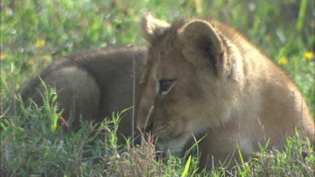 vídeos de stock, filmes e b-roll de a lion cub lying down on the grass in serengeti national park, tanzania - bigode de animal