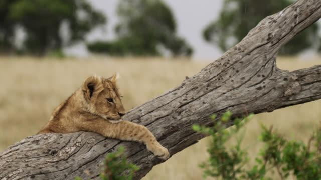vídeos de stock, filmes e b-roll de lion (panthera leo) cub lying on dead tree in rain, kenya - filhote de animal
