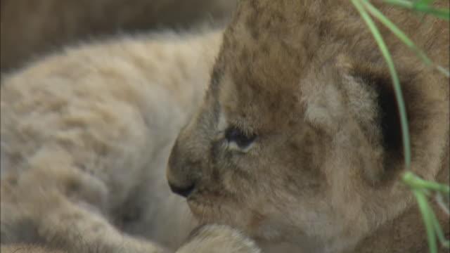 a lion cub moving in the bush of serengeti national park, tanzania - tierische nase stock-videos und b-roll-filmmaterial