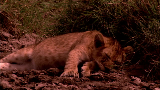 a lion cub naps near tufts of grass, then startles awake. - resting stock videos & royalty-free footage