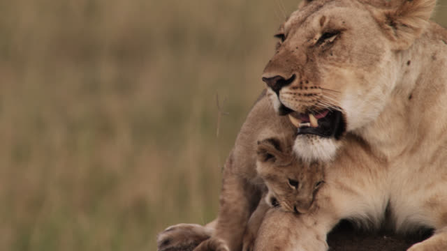 lion cub (panthera leo) nuzzles female lion on savannah, kenya - raubtier stock-videos und b-roll-filmmaterial