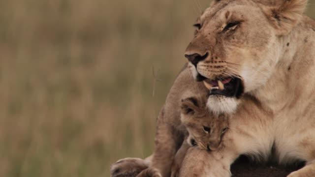 lion cub (panthera leo) nuzzles female lion on savannah, kenya - raubtierjunges stock-videos und b-roll-filmmaterial