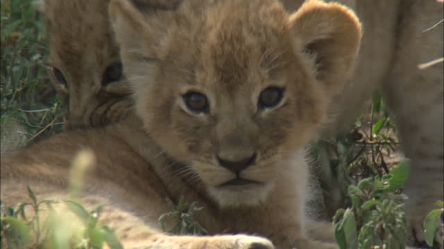 lion cub on the grass in serengeti national park, tanzania - lion cub stock videos & royalty-free footage