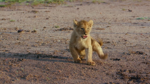 lion cub on track, maasai mara, kenya, africa - lion cub stock videos & royalty-free footage