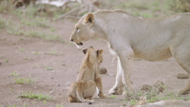 ms pan lion cub playing with mother, other lions sitting on landscape in day / kenya - other stock videos & royalty-free footage