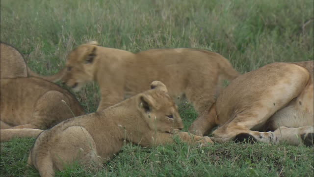 a lion cub playing with the tail of a lioness on the grass in serengeti national park, tanzania - kleine gruppe von tieren stock-videos und b-roll-filmmaterial