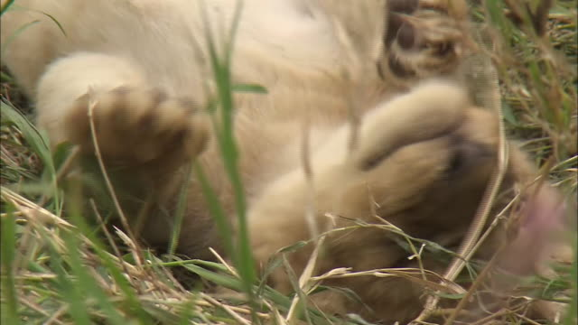 A lion cub plays on the grass in Serengeti National Park, Tanzania