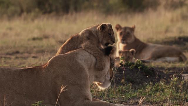 lion cub (panthera leo) plays with female lion on savannah at sunset, kenya - lion cub stock videos & royalty-free footage