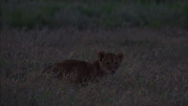 stockvideo's en b-roll-footage met lion cub resting on the grass in serengeti national park, tanzania - welp