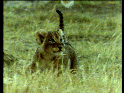 lion cub runs with mother - young animal stock-videos und b-roll-filmmaterial