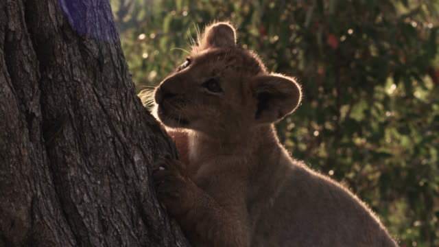 lion cub (panthera leo) scratches tree trunk at sunset, kenya - claw stock videos & royalty-free footage