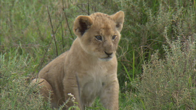 a lion cub sitting down on the grass at serengeti national park, tanzania - carnivora stock videos and b-roll footage