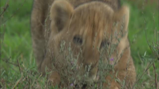 a lion cub sitting down on the grass in serengeti national park, tanzania - tierische nase stock-videos und b-roll-filmmaterial