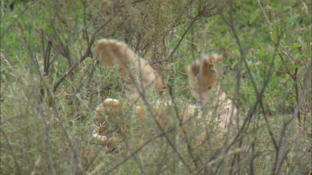 a lion cub sitting lying down on the grass at serengeti national park, tanzania - carnivora stock videos and b-roll footage