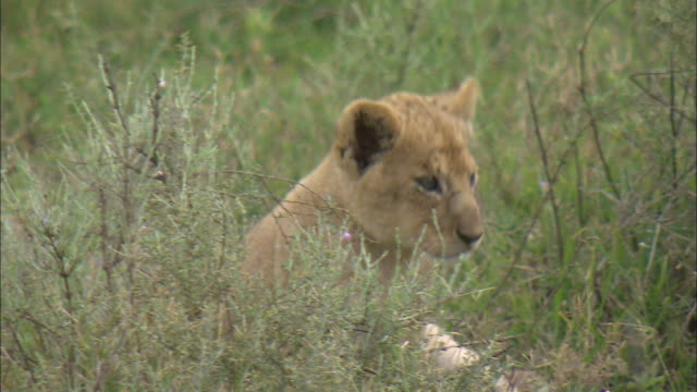 a lion cub sitting on the grass at serengeti national park, tanzania - carnivora stock videos and b-roll footage