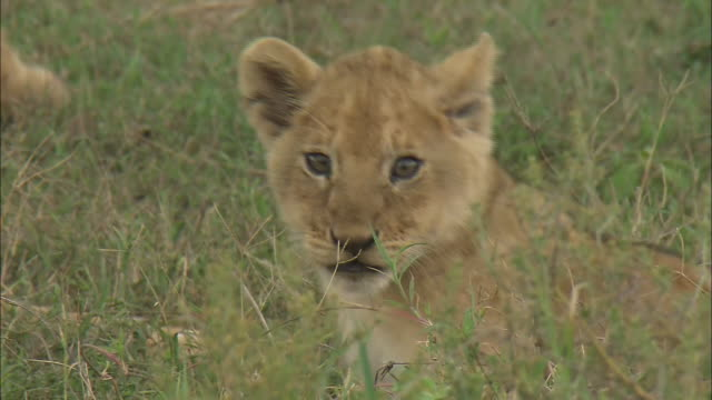 a lion cub sitting on the grass in serengeti national park, tanzania - tierische nase stock-videos und b-roll-filmmaterial