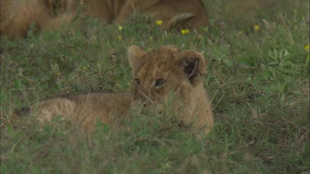 a lion cub sitting on the grass in serengeti national park, tanzania - kleine gruppe von tieren stock-videos und b-roll-filmmaterial