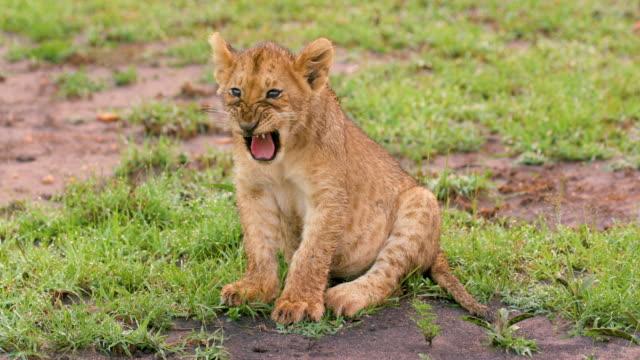 vídeos de stock, filmes e b-roll de lion cub sitting & yawning, maasai mara, kenya, africa - fauna silvestre