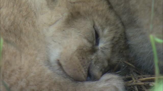 a lion cub sleeping in the bush of serengeti national park, tanzania - tierische nase stock-videos und b-roll-filmmaterial