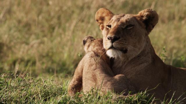 lion cub (panthera leo) snuggles with female lion on savannah, kenya - cub stock videos & royalty-free footage