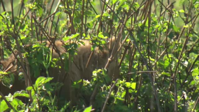 vídeos de stock e filmes b-roll de a lion cub standing in the bush of serengeti national park, tanzania - cara para baixo