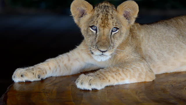 lion cub. - young animal stock videos and b-roll footage