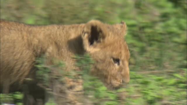 vídeos de stock, filmes e b-roll de a lion cub walking in the bush of serengeti national park, tanzania - bigode de animal