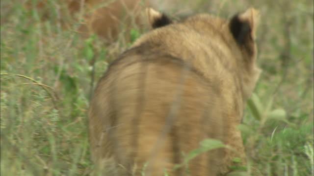 a lion cub walking in the bushes at serengeti national park, tanzania - carnivora stock videos and b-roll footage