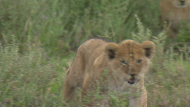 a lion cub walking on the grass at serengeti national park, tanzania - carnivora stock videos and b-roll footage
