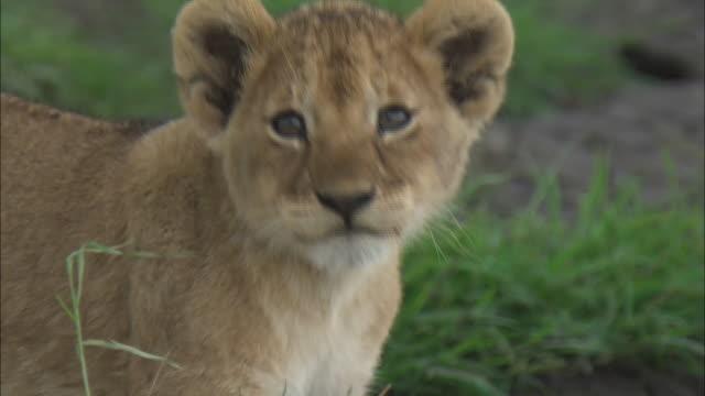 vídeos de stock, filmes e b-roll de a lion cub walking on the grass in serengeti national park, tanzania - bigode de animal