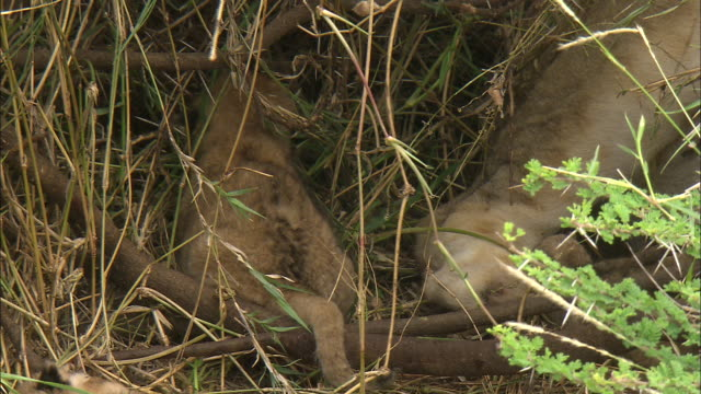a lion cub with toddler steps in the bushes at serengeti national park, tanzania - carnivora stock videos and b-roll footage