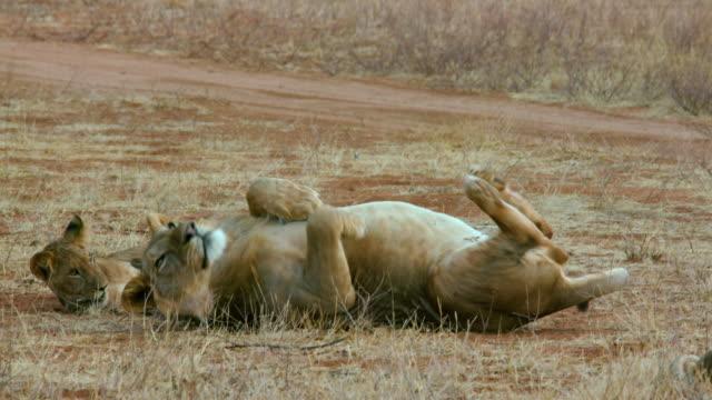 vídeos y material grabado en eventos de stock de lion cub & young father rolling samburu  kenya  africa - rodar