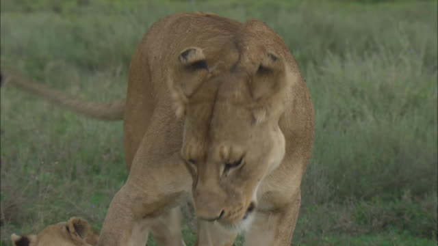 vídeos de stock, filmes e b-roll de lion cubs and a lioness playing together on the grass in serengeti national park, tanzania - bigode de animal