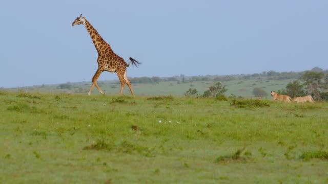lion cubs chasing masai giraffe, maasai mara, kenya, africa - raubtierjunges stock-videos und b-roll-filmmaterial