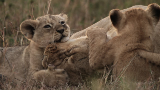 vídeos de stock, filmes e b-roll de lion cubs (panthera leo) clamber on female lion, kenya - fauna silvestre
