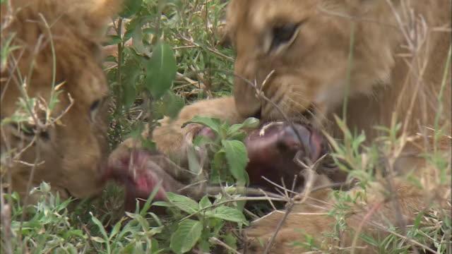 vídeos y material grabado en eventos de stock de lion cubs eat its prey in the bush, serengeti national park, tanzania - grupo pequeño de animales