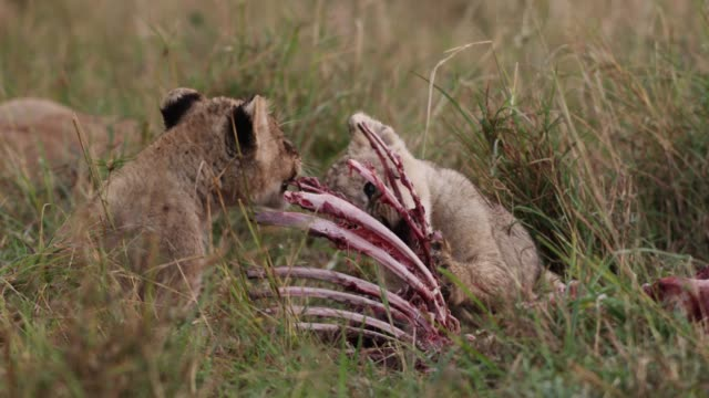 lion (panthera leo) cubs feed on kill, kenya - brustkorb menschlicher knochen stock-videos und b-roll-filmmaterial