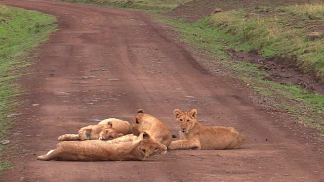 Lion cubs in middle of road, Masai Mara, Kenya
