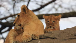 Lion cubs in Serengeti Park
