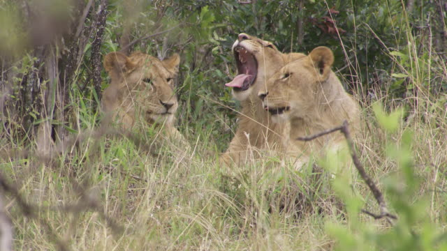 stockvideo's en b-roll-footage met ms lion cubs laying on grass and yawning / tanzania  - kleine groep dieren